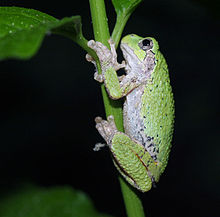 Coping with gray treefrogs
