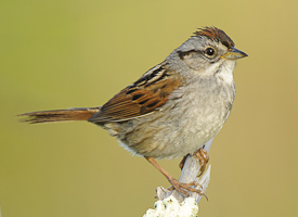 Swamp sparrow wikimedia commons
