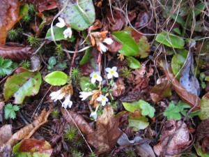 Trailing arbutus was in flower but the damp heavy air muted the wonderful fragrance - Charles Wike photo