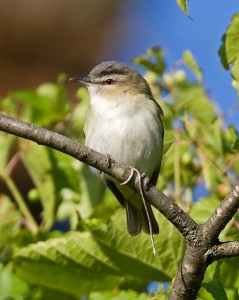 Red-eyed vireos are nonstop choristers