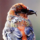 Red crossbill - NPS photo