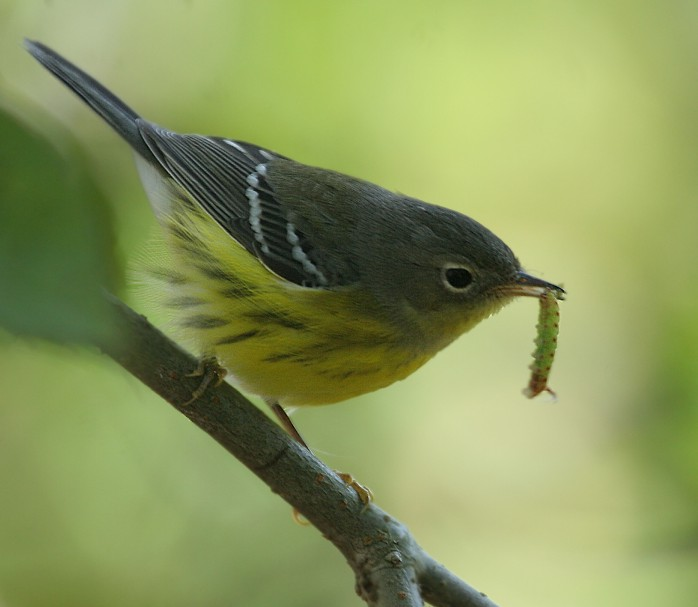 magnolia warbler fall - photo #12