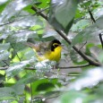 May 3rd and 4th were the dates for this year's 30th annual edition of the Great Smoky Mountains Birding Expedition. This trip began in 1984 as the brainchild of George […]