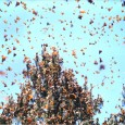Monarch butterflies, like orange autumn leaves filling the skies, have been winging it to Mexico for the last month or so. Peak migration for the mountains of W