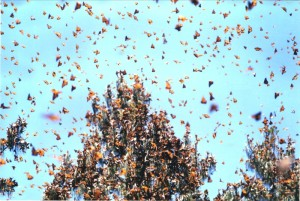 Overwintering monarch butterflies in Mexico - creative commons photo