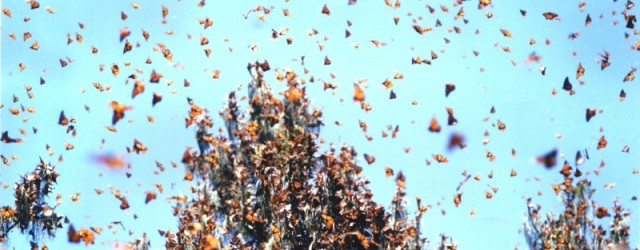 Monarch butterflies, like orange autumn leaves filling the skies, have been winging it to Mexico for the last month or so. Peak migration for the mountains of Western North Carolina […]