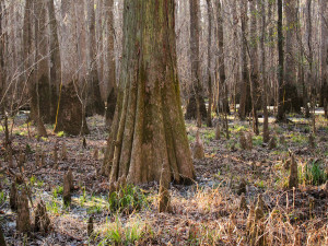 Bald cypress & tupelo at Congaree National Park - wikimedia commons photo