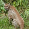 "Nothing stirs tales of ""wild"" Appalachia quite like the mention of ""painters."" This article was written before a DNA study of cougars – that may change the way biologists think […]"