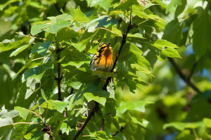 We will be looking for blackburnian warblers at Collins Creek Picnic Area - creative commons photo