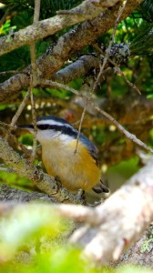 Male red-breasted nuthatch - Don Hendershot photo