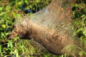 Fall webworm nest - Don Hendershot photo