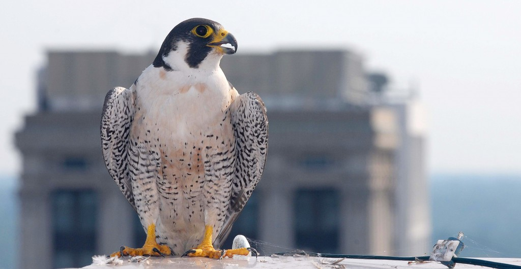Windy City peregrines